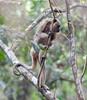 HowlerMonkey Pantanal_7I2B8768-1087185226-O
