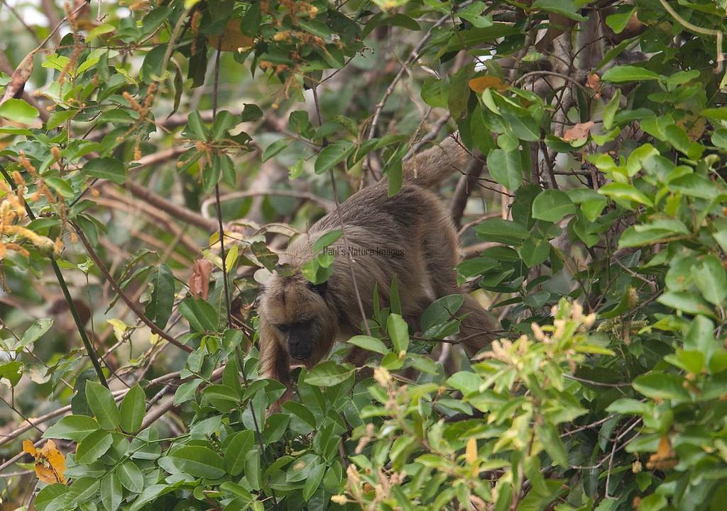 HowlerMonkey Pantanal_7I2B8814-1087186134-O
