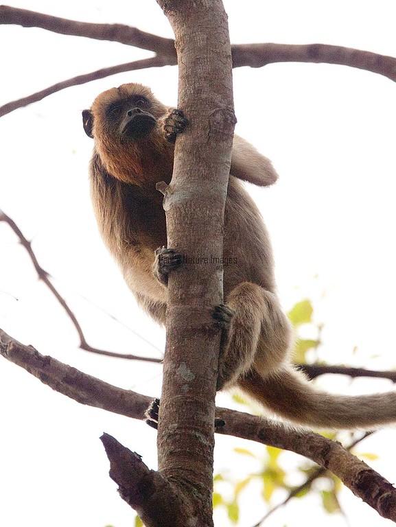 HowlerMonkey Pantanal_7I2B8473-1087185137-O