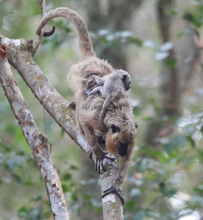 HowlerMonkey Pantanal_7I2B8775-1087185400-O