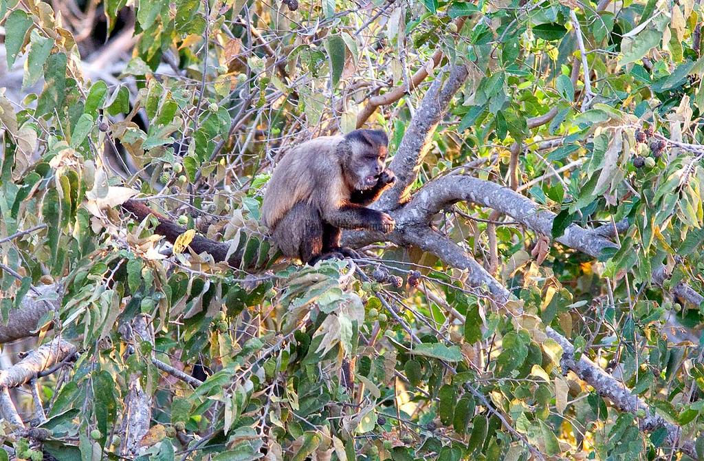 Brown Capuchin Monkey Pant_06--543980058-O
