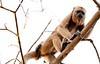 Brown Capuchin Monkey Pant_06--543980912-O