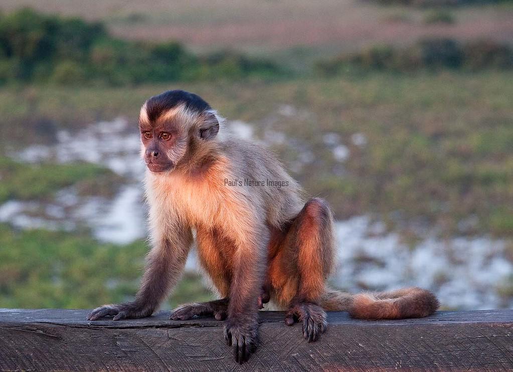 Brown Capuchin Monkey Pant_06--543980099-O