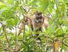 CapMonkey Pantanal_7I2B9324_10-1086656859-O