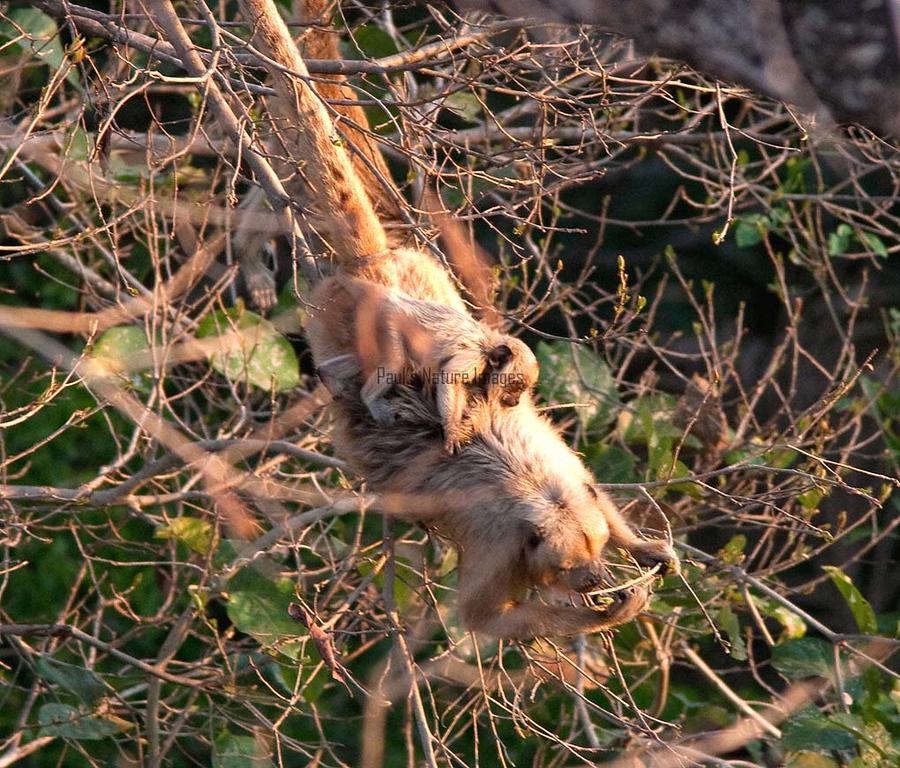 Brown Capuchin Monkey Pant_06--543980045-O
