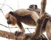 Brown Capuchin Monkey Pant_06--543980032-O