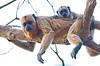 Brown Capuchin Monkey Pant_06--543980127-O