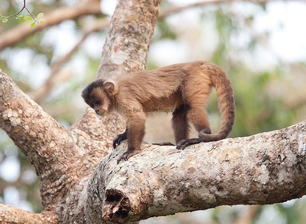 CapucinMonkey Pantanal_7I2B944-1086656932-O