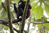 Howler monkeys_08-07-20_08-07-20_0096_IMG_1785