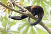Howler monkeys_08-07-20_08-07-20_0099_IMG_1791