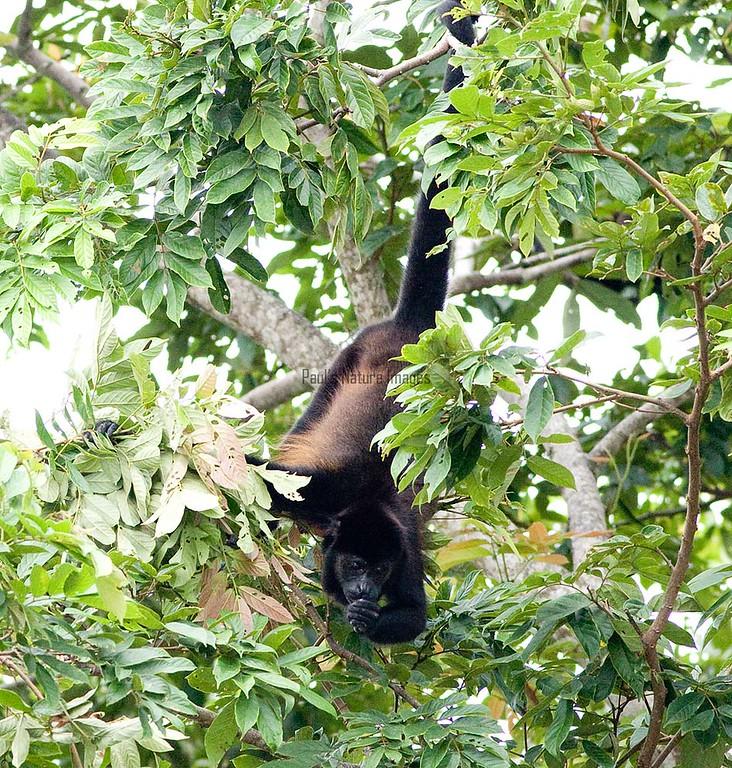 howler monkeys_08-07-21_08-07--545773545-O
