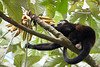 Howler monkeys_08-07-20_08-07-20_0100_IMG_1792