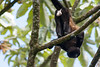 Howler monkeys_08-07-20_08-07-20_0102_IMG_1795