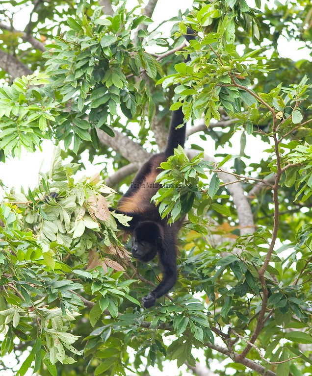 howler monkeys_08-07-21_08-07--545773663-O