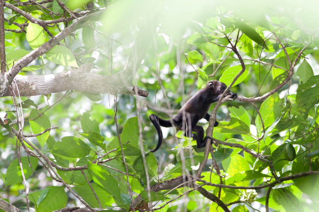 howler monkey_07-08-06_0021