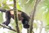 Howler monkeys_08-07-20_08-07-20_0095_IMG_1783
