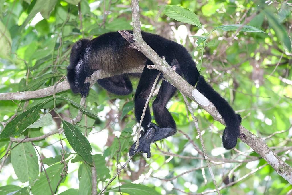 howler monkey_07-08-06_0027_07-545773174-O