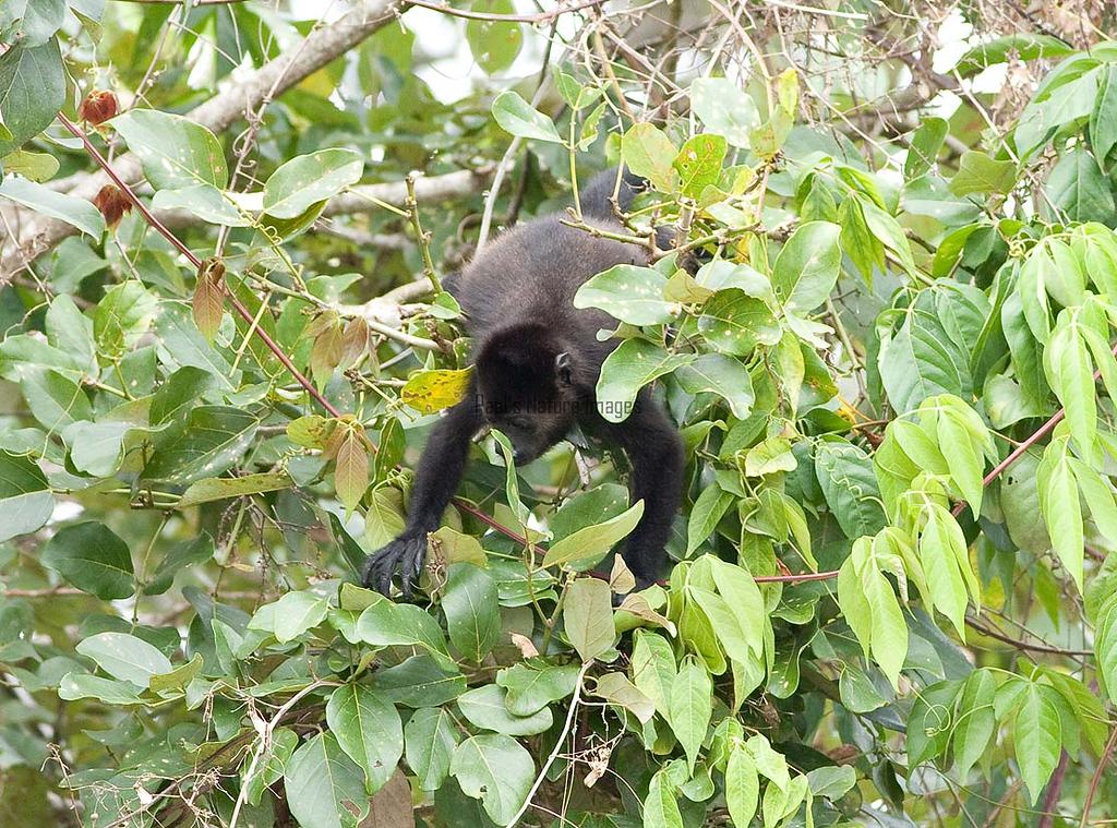 howler monkeys_08-07-21_08-07--545773370-O
