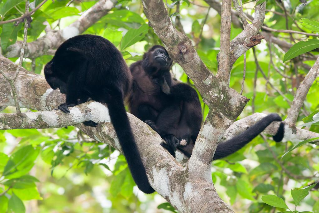 howler monkey_07-08-06_0004