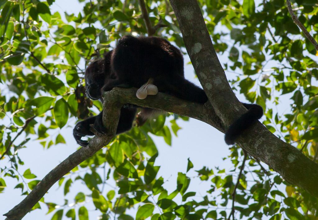howler monkey_00-01-01_0029