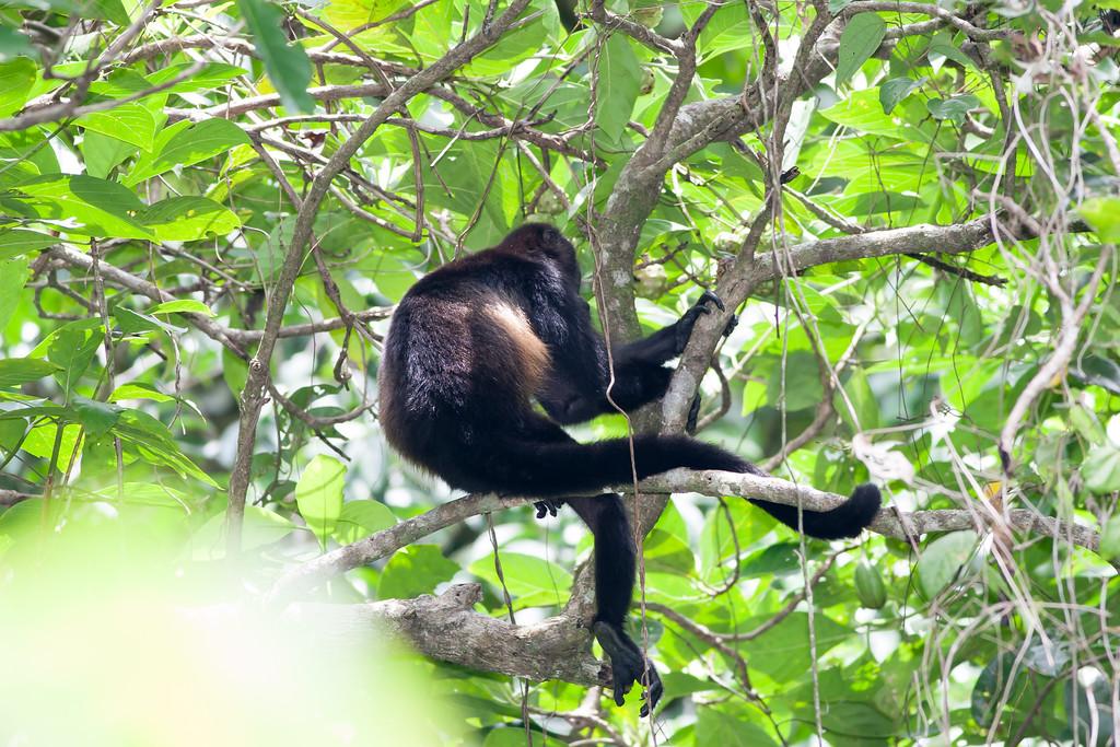howler monkey_07-08-06_0012