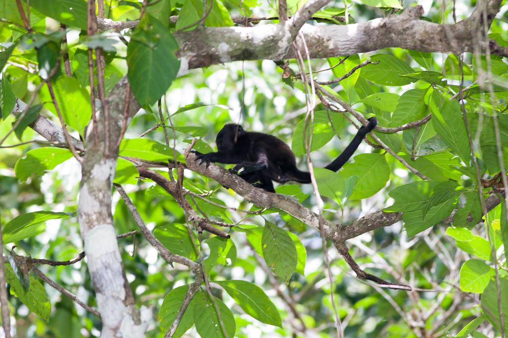 howler monkey_07-08-06_0016