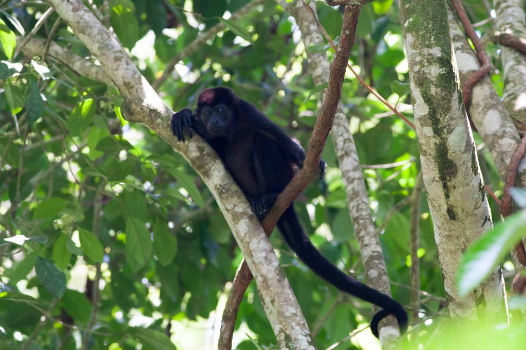 howler monkey_00-01-01_0037