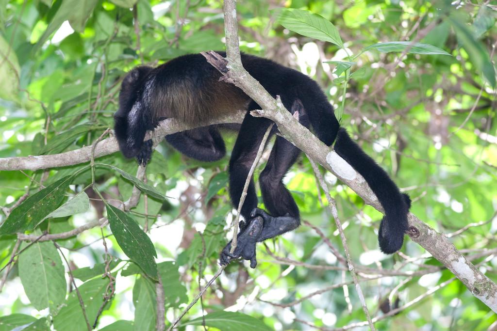 howler monkey_07-08-06_0027_070806_63