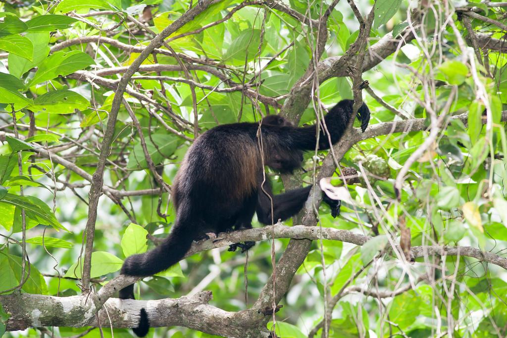 howler monkey_07-08-06_0001