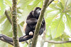 Howler monkeys_08-07-20_08-07-20_0097_IMG_1786