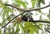 Howler monkeys_08-07-20_08-07-20_0101_IMG_1793