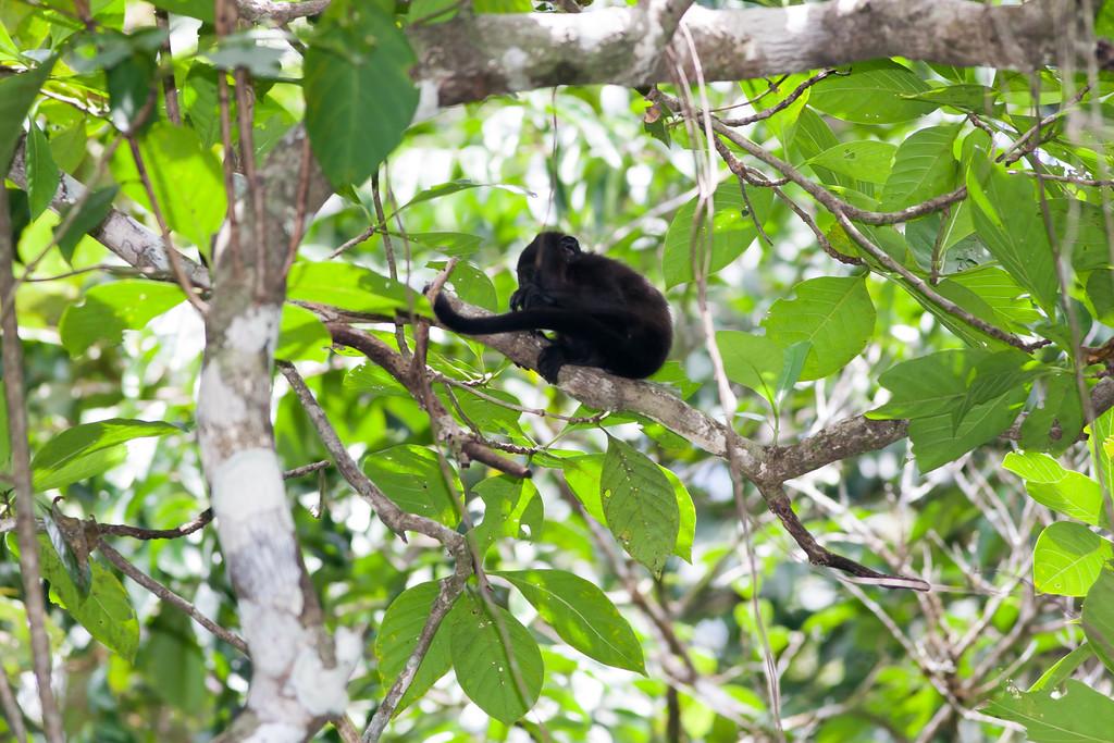 howler monkey_07-08-06_0018