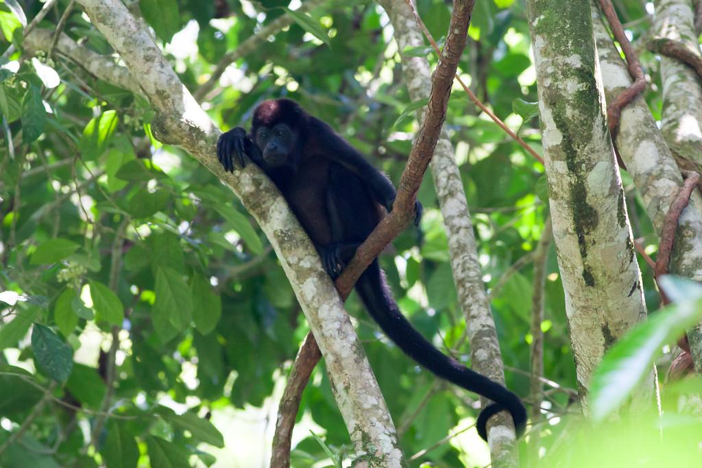 howler monkey_00-01-01_0036
