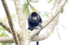 Howler monkeys_08-07-20_08-07-20_0092_IMG_1778