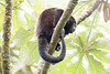 Howler monkeys_08-07-20_08-07-20_0098_IMG_1788