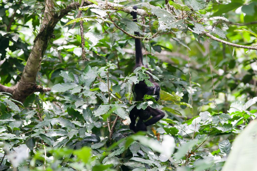 howler monkey_07-08-06_0006