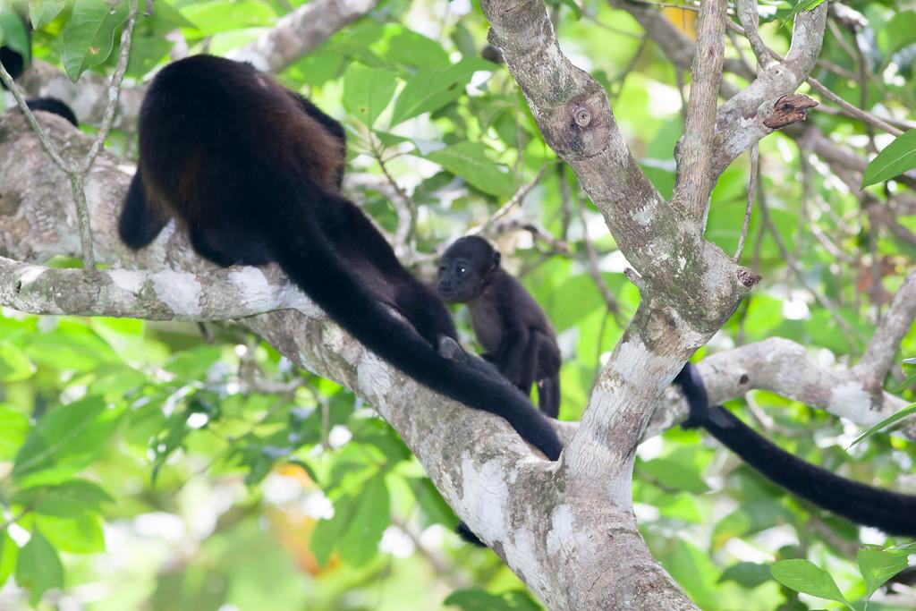 howler monkey_07-08-06_0020