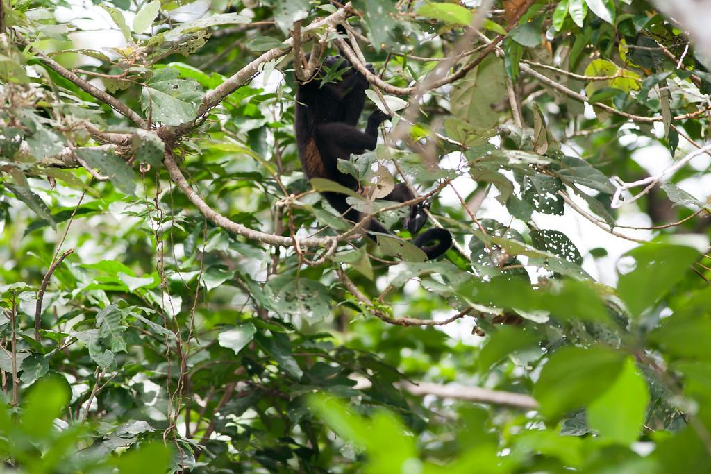 howler monkey_07-08-06_0005