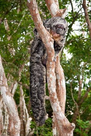 equatorial saki monkey_06-08-19_0007