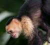 White-faced monkey (2)_060718_-545983516-O