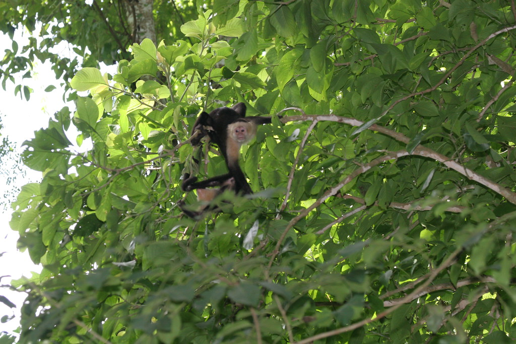 Monkey White-faced (1)_CostaRica-05_07-10-05