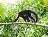 White-faced monkeys_08-07-18_08-07-18_0028_08-07-18_0028_IMG_1676_080718_5