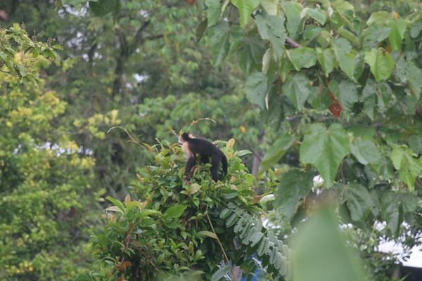 monkeys white faced (1)_CostaRica-05_07-20-05