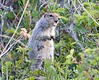 artic ground squirrel_08-06-29-529265191-O
