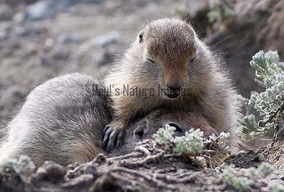 artic ground squirrel_08-06-29-529265144-O
