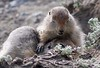 artic ground squirrel_08-06-29-529265144-O