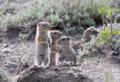 artic ground squirrel_08-06-29-529265205-O