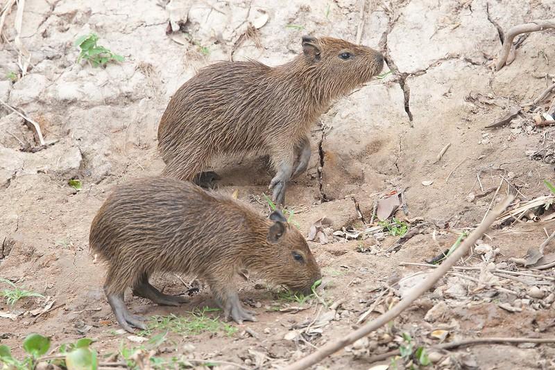 Capybara Pantanal_7I2B8832_10--1085941022-O