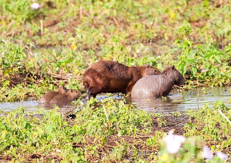 CapybaraPantanal_06-08-15_0016-544039282-O