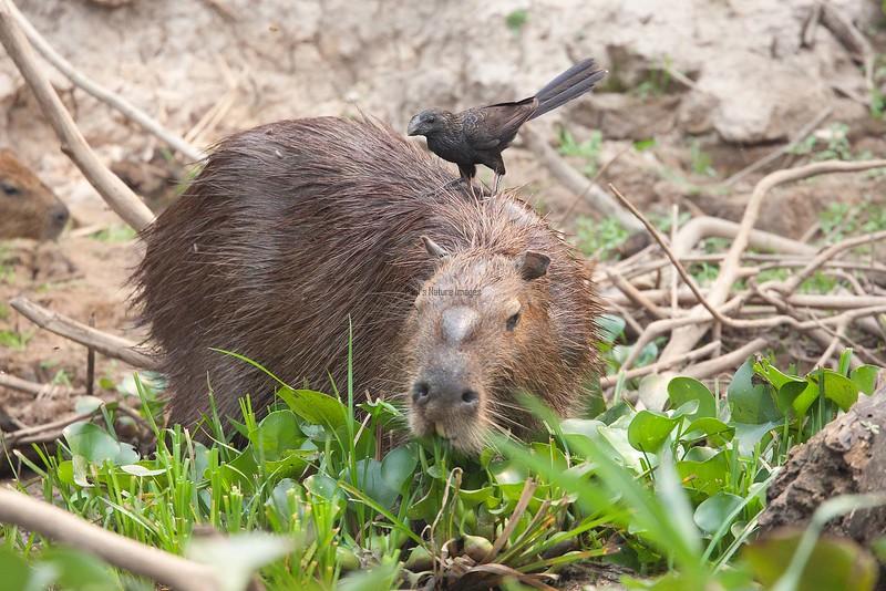Capybara Pantanal_7I2B8827_10--1085940616-O